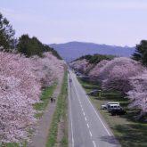 静内二十間道路桜